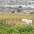 Polar Bear standing in the grass 1 — Stock Photo
