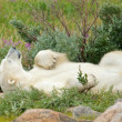 Lazy Polar Bear in the Tundra 1 — Foto de Stock