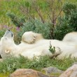 Lazy Polar Bear in the Tundra 1 — Stock Photo