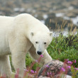 Polar Bear sniffing in the grass 5 — Stock Photo #34489861
