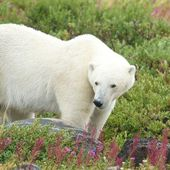 Polar Bear sniffing in the grass 4 — Stock Photo