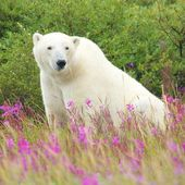 Polar Bear sitting in the grass — Stock Photo