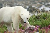 Polar Bear sniffing in the grass 5 — Stock Photo