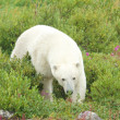 Polar Bear sniffing in the grass 1 — Stock Photo