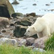 Polar Bear between rocks — Foto Stock