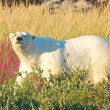 Stock Photo: Polar Bear walking in fireweed