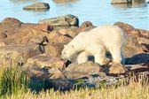 Polar Bear between rocks 2 — Stock Photo