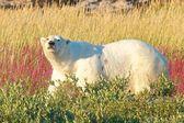 Polar Bear walking in fireweed — Stock Photo