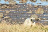 Polar Bear at the shore — Stock Photo