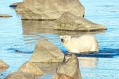 Polar Bear wading in the water — Stock Photo