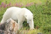 Polar Bear sniffing in the grass 3 — Stock Photo