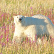 Stock Photo: Polar Bear walking through fire weed in the evening