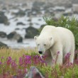 Tired Polar Bear in the grass — Stock Photo