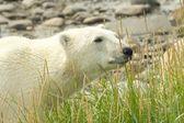 Curious Polar Bear in the grass — Stock Photo