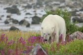 Polar Bear sniffing in the fire weed — Stock Photo