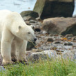 Polar Bear coming at shore 3 — Lizenzfreies Foto