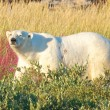 Polar Bear walking in the fire weed — Stock Photo #35110817