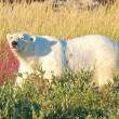 Stock Photo: Polar Bear walking in the fire weed