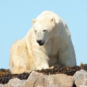Waking Polar Bear on the rocks 2 — Stock Photo