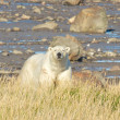 Polar Bear frontal — Stockfoto