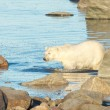 Stock Photo: Polar Bear wading through water