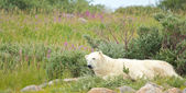 Polar Bear waking up under a bush — Stock Photo