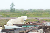 Polar Bear playing in the junk — Stock Photo