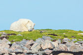 Polar Bear asleep on the grass — Stock Photo