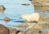 Polar Bear wading through water — Stock Photo