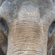 Stock Photo: AsiElephant Front Portrait