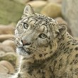 Stock Photo: Wary Snow Leopard