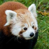 Curiosa panda rojo 1 — Foto de Stock