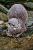 Small-clawed otter waiting — Stock Photo