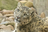 Wary Snow Leopard — Stock Photo