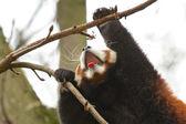 Yawning Red Panda — Foto Stock