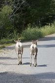 Big Horn Sheep Escape — Stock Photo