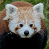 Ritratto di panda rosso — Foto Stock