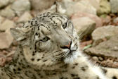 Joven leopardo de las nieves — Foto de Stock