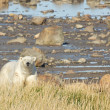 Polar Bear at the shore — Stock Photo