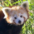 Stockfoto: Red PandPortrait