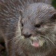 Stock Photo: Small-clawed Otter Portrait