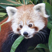 Retrato de panda rojo — Foto de Stock