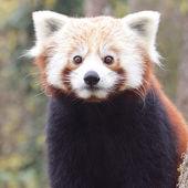 Portret red panda — Zdjęcie stockowe