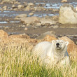 Polar Bear in the summer Tundra — Stock Photo