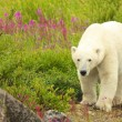 Walking Polar Bear — Stock Photo
