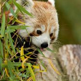 Red Panda eating Bamboo — Stock Photo