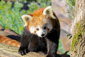 Red Panda Portrait — Stock fotografie