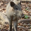 Female Boar Portrait 3 — Stock Photo