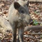 Female Boar Portrait 3 — Stock Photo