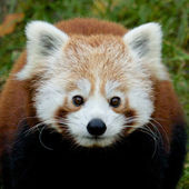 Red Panda Portrait — ストック写真